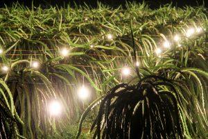 Dùng đèn LED chong thanh long ra hoa trái vụ vừa tiết kiệm điện vừa tăng năng suất - Ảnh: Ng.Tuấn.